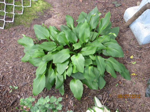 Solid colored hosta