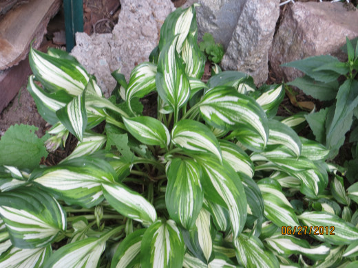 Hosta getting read to bloom