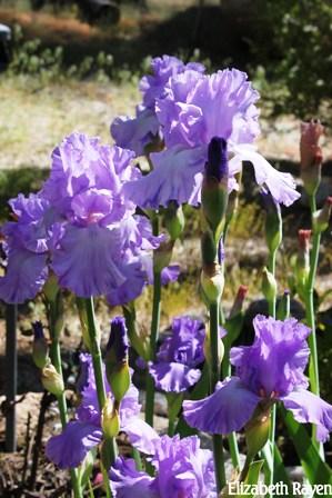 Brilliant Colorful Iris' attract the hummingbird