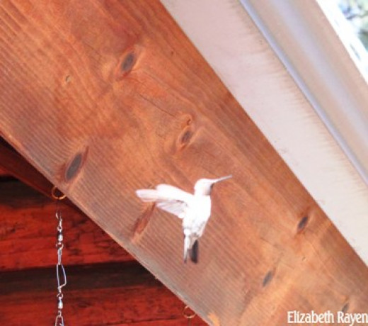Rare glimps of a white hummingbird
