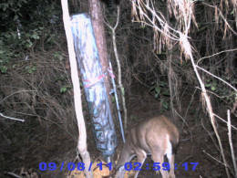 Hunters haven't even hit the woods yet but the bucks are still nocturnal. This will change when the rut kicks in.