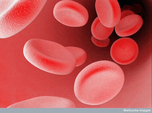 Blood cells in a blood vessel