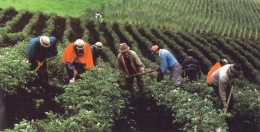 Just like in slavery times, workers tend fields.
