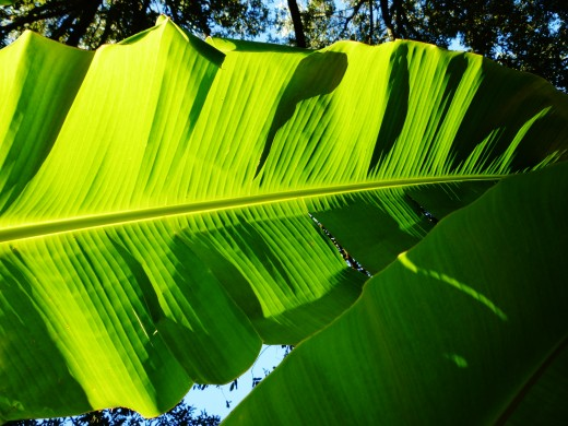 Personal photo of our banana leaves