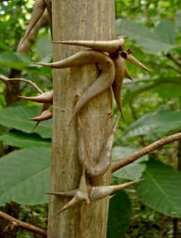 The small bull thorn tree is very common on beaches in the northwest Pacific side of the country.  There are other types of thorn-laden trees as well.