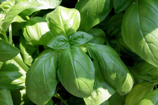 Fresh basil can make a wonderful addition to lemonade.