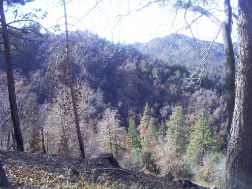Many trees are dead and many remain alive after The Grass Valley Fire of 2007.