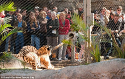 Tug O' War with Big Cats, Tigers