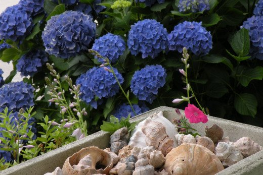 A planter full of favorite shells nestles near the hydrangea bush.