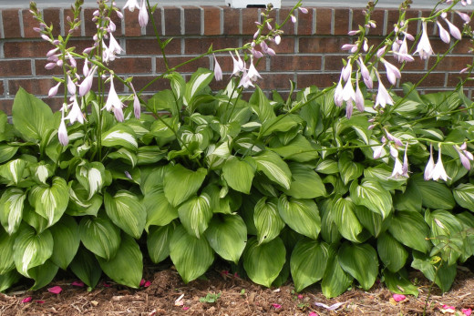 Hostas are propagated by division, and in a year, one plant was turned into a beautiful border planting.