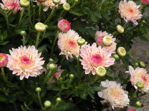 These mums bloomed early and did well before the full heat of summer was upon them. I love the delicate pink centers.