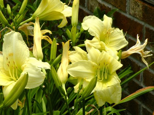 Yellow lilies bloom profusely even in the heat of summer.