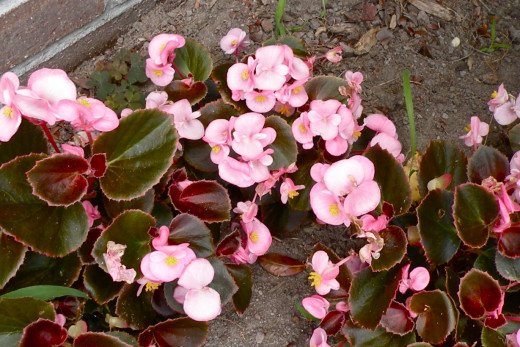 These begonias are nestled under the camellia bush by our side door. They make a bright spot of color in this shady spot.