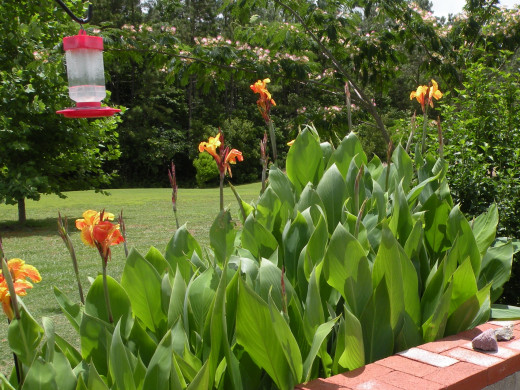 Orange canna lilies on the outside of the wall help attract hummingbirds to the feeder.