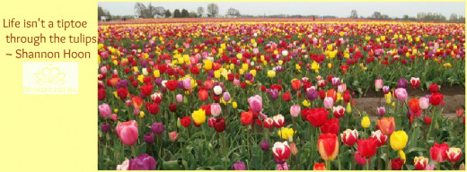 Tulip fields in Salem, Oregon