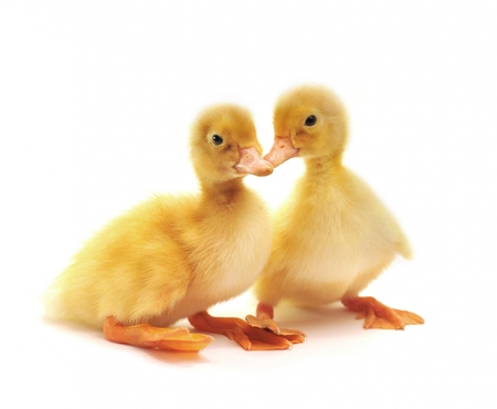 2 ducklings from 1 egg at a farm in Cornwall.