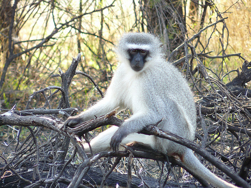 Monkey In Gaborone Game Reserve