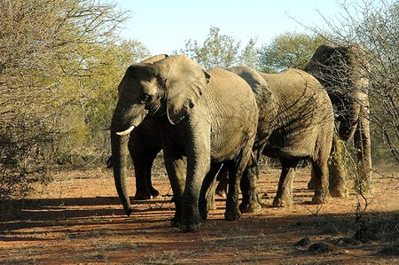 Elephants In Mokolodi Nature Reserve