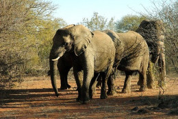 Elephants In Mokolodi Nature Reserve