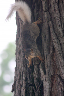 White-tailed Squirrel