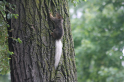 White-tailed Squirrels