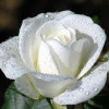 jamaican rose profile image