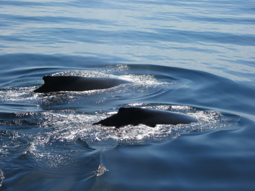 A couple humpback whales spotted on my latest whale watch from Plymouth