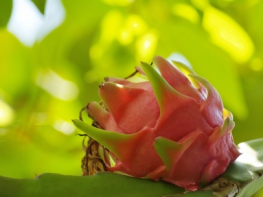Beauty and benefits of Dragon Fruit