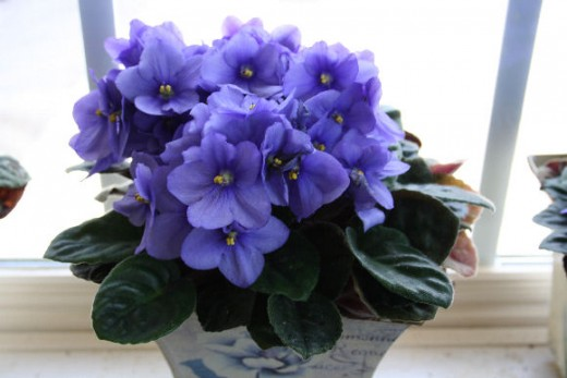 Beginners tips for african violet care dengarden african violet negle