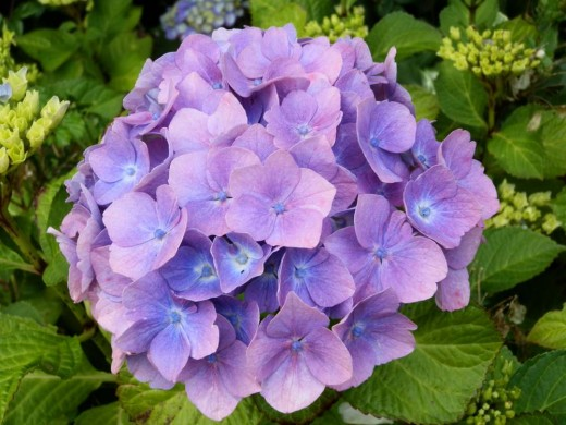 hydrangea plant with glorious lilac flowers
