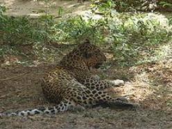 The Menace of Leopards in Mumbai's Green Belt