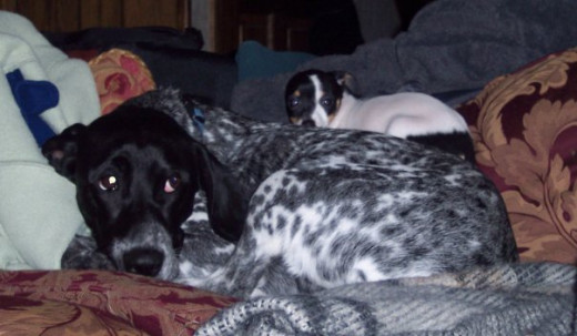 This is Millie in her younger years being an adoptive mum to a one pound pup.  She always took care of animals in need and the kids when they were sick, she was their nurse!
