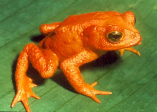 Golden Toad.