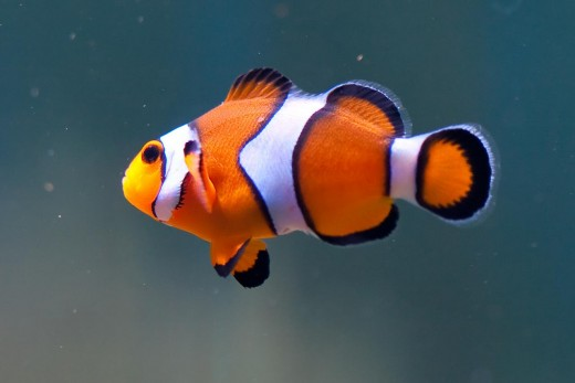 Clownfish are a popular aquacultured fish and one of the most popular marine fish.