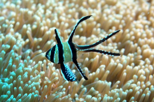 Banggai Cardinalfish are threatened in their native environment and should never be purchased wild-caught.