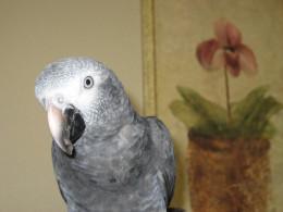 African Grays are smart birds!