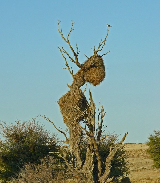 More Social Weaver Nests in Kgalagadi-Pygmy Falcon waiting for lunch.