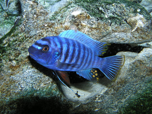 The Zebra Cichlid is just one of the many popular species of African Cichlids found in Lake Malawi.