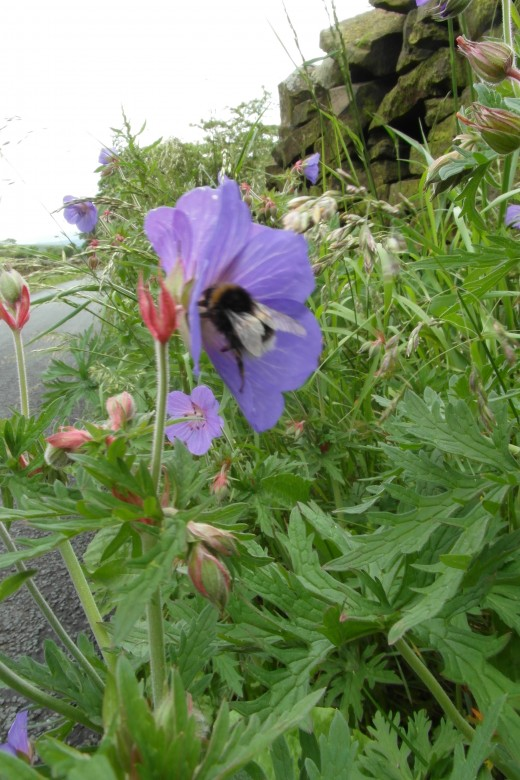 Encourage your local council to let road verges  flower for bees.