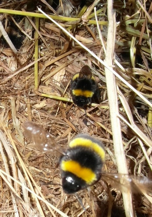 White tailed bumblebees leaving their nest.in my shed