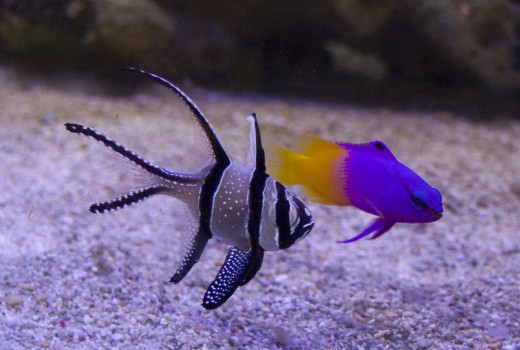 A royal gramma (right) and a Banggai cardinal. Two aquacultured fish enjoying each other's company.