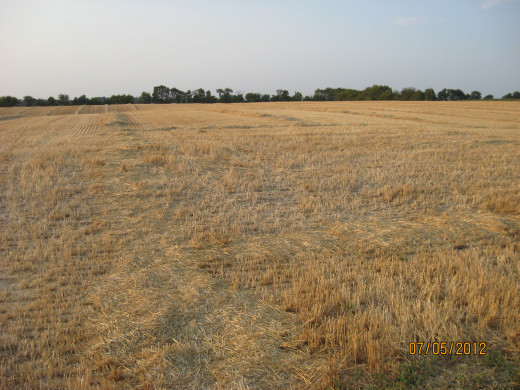 A wheat field, a few days after harvest.
