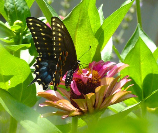 Black swallowtail butterfly visits the zinnias.