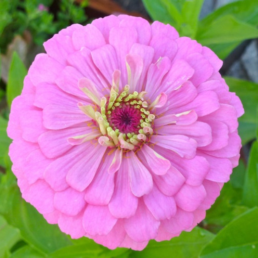 Zinnias are native to Mexico, Central America, and the southwestern United States.