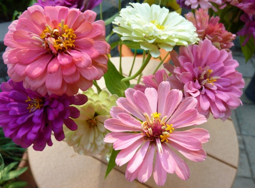 Zinnias are named after Johann Gottfried Zinn (1727-1759), a German professor of botany.