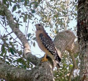 Hawk in the internal area of my large oak tree.  Photo taken with my GE x-500 Digital Camera.