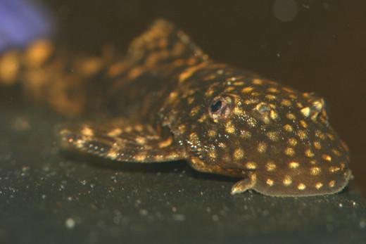Plecostomus Catfish