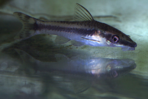 Otocinculus Catfish