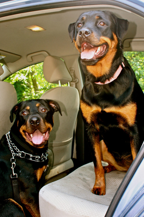 Rottweilers: our first foster Rottie Bo and our Ella