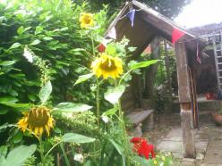 Measure the tallest Sunflower